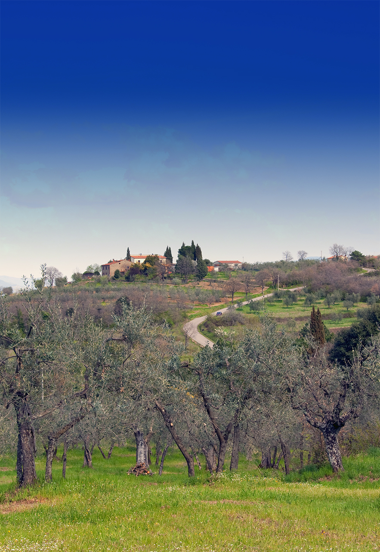 Oliveto toscano